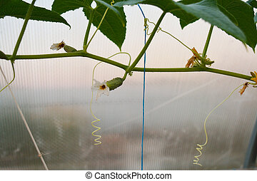 Cucumbers with flowers growing on a stem
