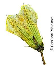 Cucurbita pepo in herbarium - Pressed and dried flower of ...