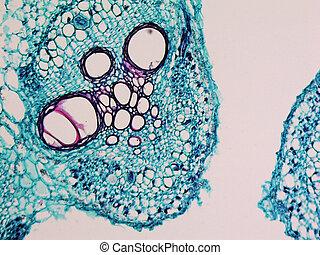 Cucurbita stem micrograph