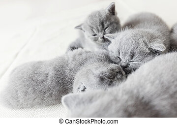 Cuddling cats laying together. British shorthair.