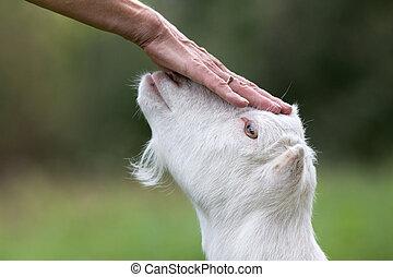 Cuddling goat on the head - Close up of female hand cuddling...