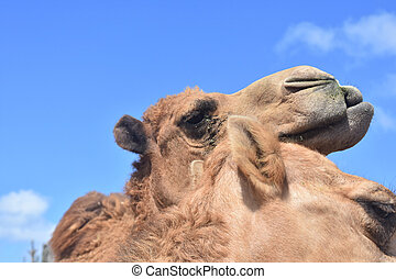 Cuddling Pair of Shaggy Camels with Blue Skies - Really ...