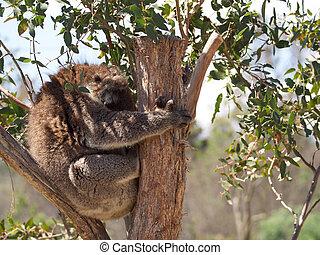 cuddly koala - tasmaina sleeping koala in a gum tree during ...
