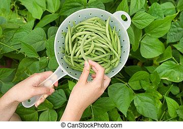 cueillette, buisson, frais, haricots, vert, main, jardin