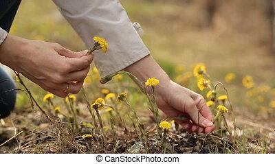 cueillette, femme, fleurs, jaune, mains