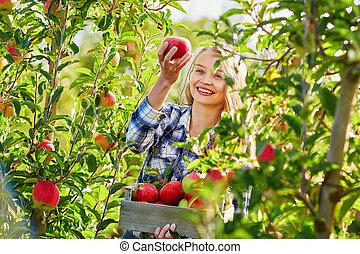 cueillette, femme, jardin, pommes, jeune