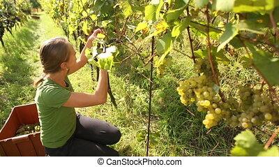 cueillette, femme, jeune, raisins
