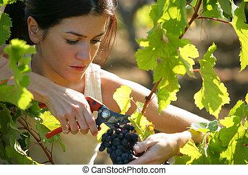 cueillette, femme, raisins