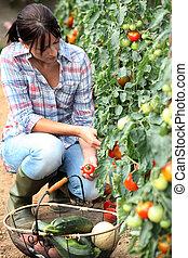 cueillette, femme, tomates