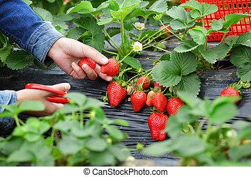 cueillette, fraise, dans, jardin