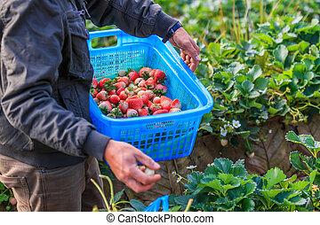 cueillette, ouvriers, fraises, jardin