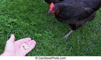 cueillette, pain, poules, miettes, main