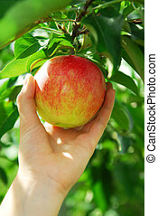 cueillette, pomme