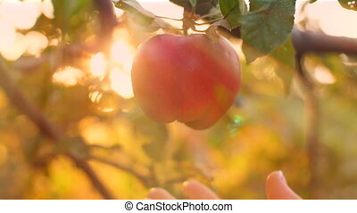 cueillir, pomme, veille