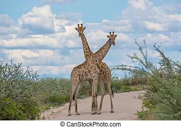 cuellos, cruce, jirafas