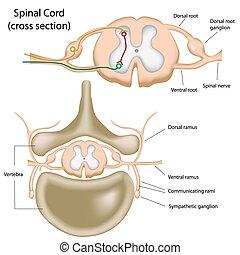 cuerda, espinal, sección, cruz