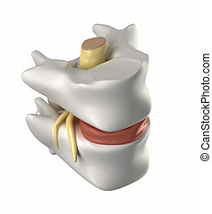 cuerda, vértebra, disco, intervertebral, espinal