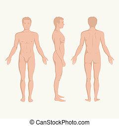 cuerpo, anatomía, hombre
