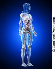 cuerpo, anatomía, lleno