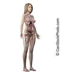 cuerpo, anatomía, lleno, hembras