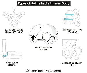 cuerpo, articulaciones, tipos, humano
