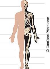 cuerpo, esqueleto, humano
