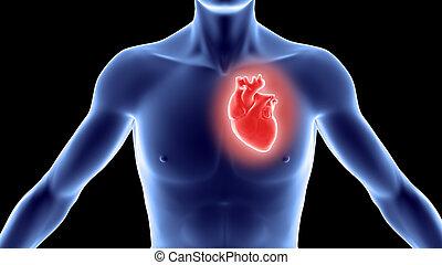 cuerpo humano, con, corazón