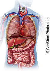 cuerpo, humano, ilustración, del, anatómica