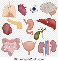 cuerpo humano, interno, partes, órganos, conjunto, aislado, en, el, transperant, alfa, fondo.
