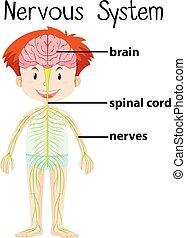 cuerpo, nervioso, humano, sistema