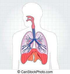 cuerpo, respiratorio, pulmones, sistema, ilustración, vector...