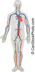 cuerpo, sangre, humano, circulación