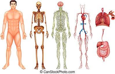 cuerpo, sistemas, humano