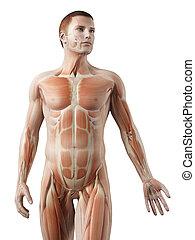 cuerpo, superior, macho,  -, Sistema, músculo