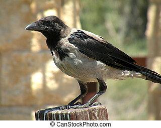 cuervo, amante, áreas