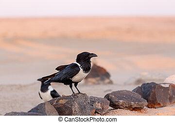 cuervo, desierto de namib, pied