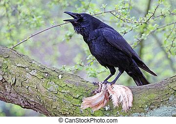 cuervo, encima de cierre