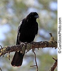 cuervo, norteamericano