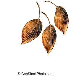 cuivre, feuilles, bruni, hosta