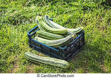 cukina, sklízet, box, courgettes, zahrada, -