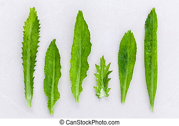Culantro, Long coriander, Sawtooth coriander the herbs for ...