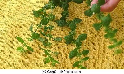 Melissa leaves - Culinary aromatic herbs. Melissa leaves on ...