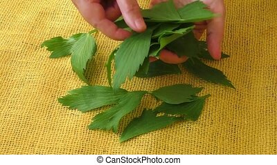 Culinary aromatic herbs - Lovage herb on yellow background....