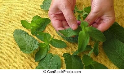 Culinary aromatic herbs. Closeup fresh peppermint leaves
