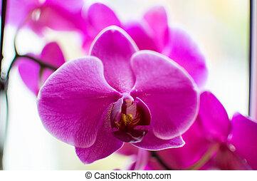 cultivar arriba, orquídea