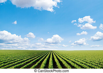 cultivated field - field with rows of cultivated plants in ...