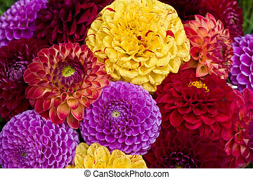 dahlia - cultivated flowers: many colored dahlia, nature ...