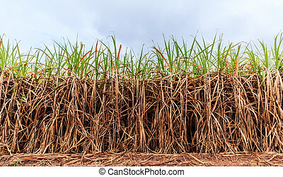 cultivated green sugarcane field with blue sky