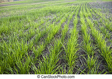 Cultivated Land - Cultivated farm land grass hay field in...