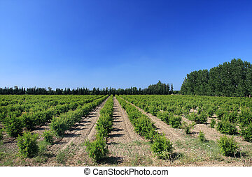 Cultivated land. - Cultivated land with plants in a row.